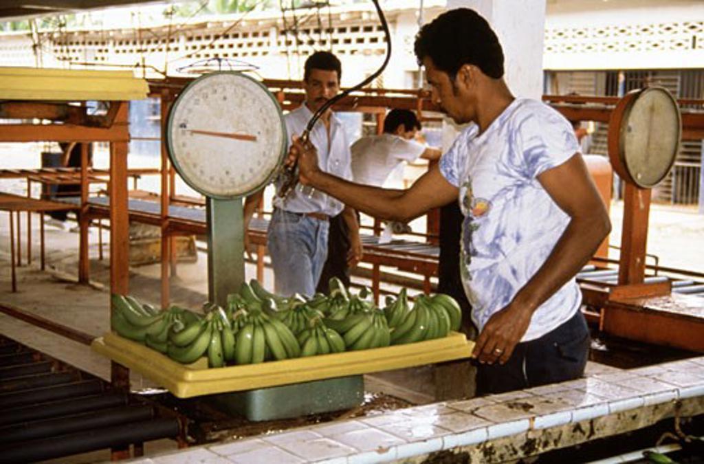 Stock Photo: 2014-424 Ecuador, man washing bananas on banana plantation