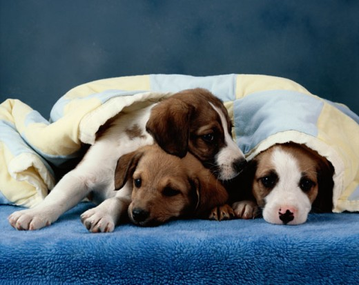 Portrait of puppies lying together covered with a blanket : Stock Photo