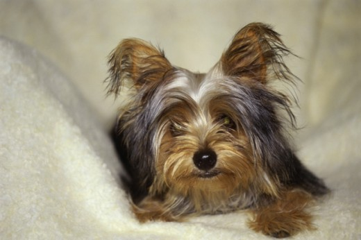 Stock Photo: 2016-408 Yorkshire Terrier