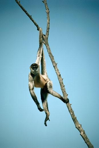 Spider Monkey : Stock Photo