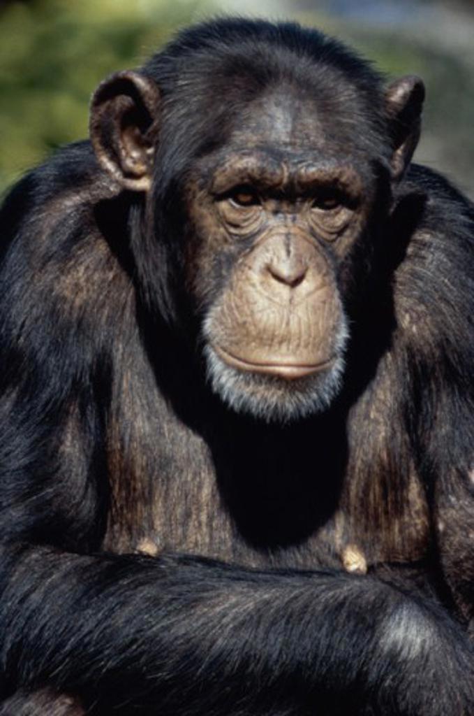 Stock Photo: 2016-587011 Chimpanzee San Francisco Zoo San Francisco California USA