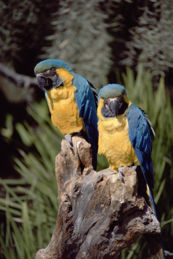 Close-up of two Blue and Gold Macaws (Ara Ararauna) perching on a tree stump, Sea World, San Diego, California, USA : Stock Photo