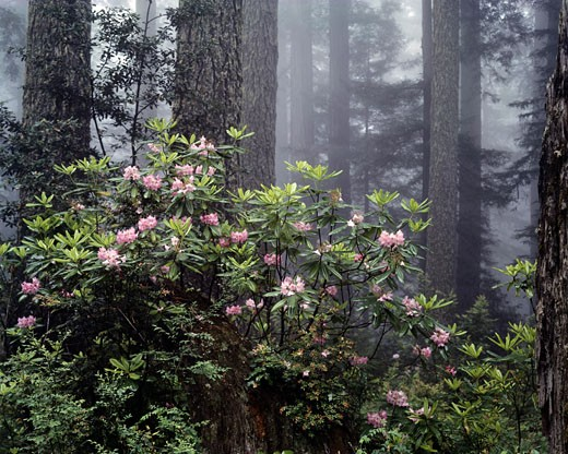 Rhododendrons in a forest, Redwood National Park, California, USA : Stock Photo