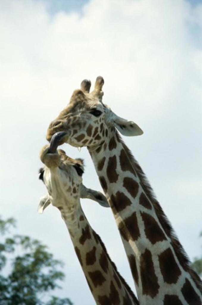 Giraffes : Stock Photo