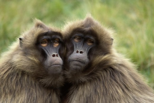 Stock Photo: 2030-776 Gelada Baboons