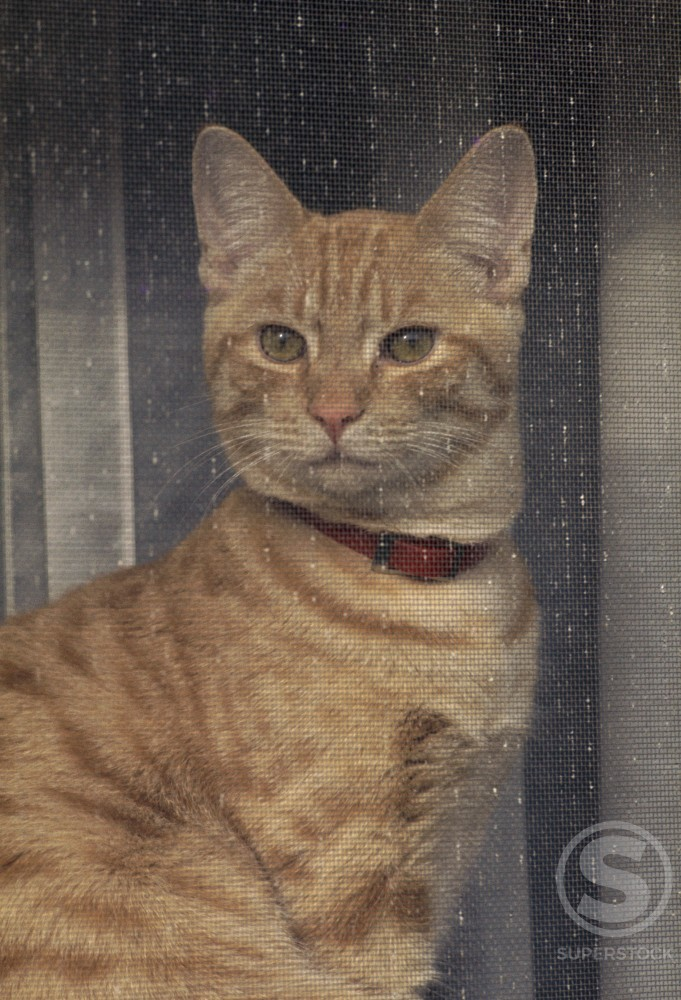 Stock Photo: 2030R-1030 Close-up of a cat looking through a screen door