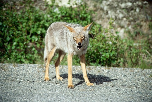 Stock Photo: 2032-1547 Coyote standing in a forest, Alaska, USA (Canis latrans)