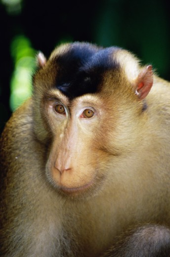 Pig-Tailed Macaque : Stock Photo