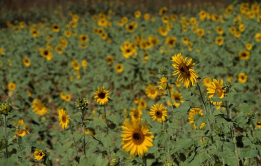 Stock Photo: 2032-2119 Sunflowers