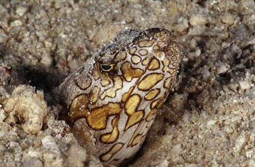 Stock Photo: 2032-2293 Close-up of a Napoleon Snake eel (Ophichthus bonaparti) underwater