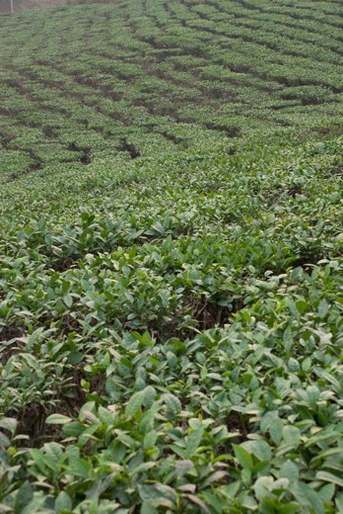 Stock Photo: 2032-600579 Vietnam, Tea bushes