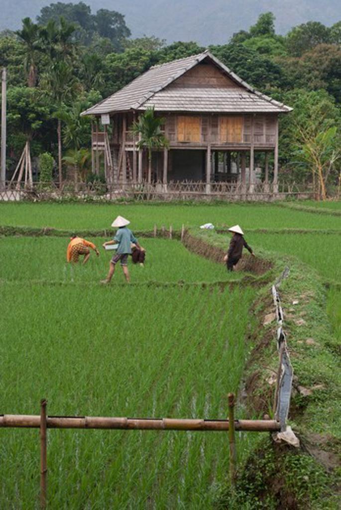 Stock Photo: 2032-600601 Vietnam, Rice paddies