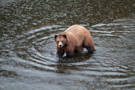 Stock Photo: 2032-600614 Brown bear (Ursus arctos) foraging in a river, Fortress of the Bears, Sitka, Alaska, USA