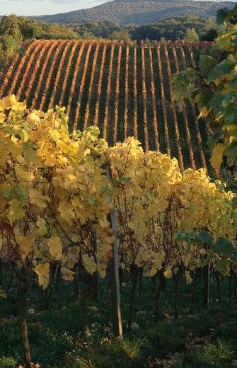 Germany, Bensheim, vineyards : Stock Photo