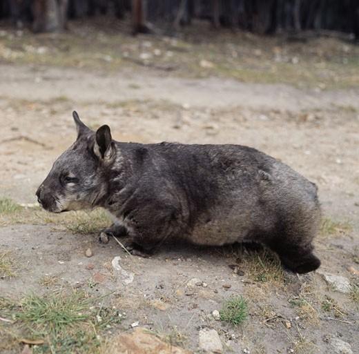 Hairy-nosed Wombat Cleland Park Australia : Stock Photo