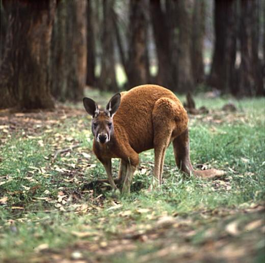 Red Kangaroo (Meglaiga Rufa) Australia : Stock Photo