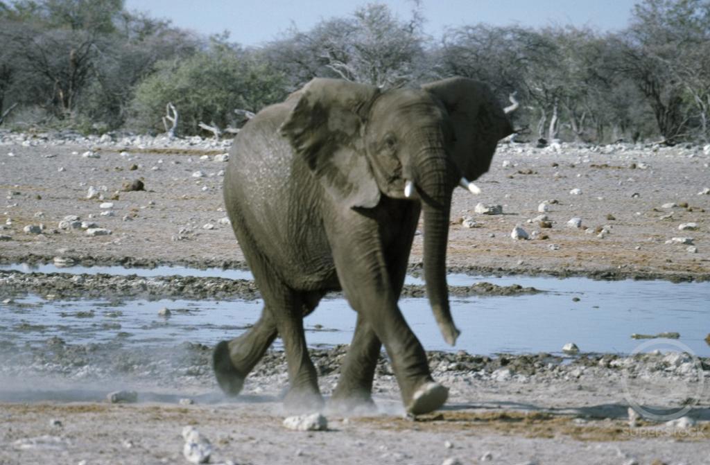 African elephant (Loxodonta africana) running near a waterhole, Etosha National Park, Namibia : Stock Photo