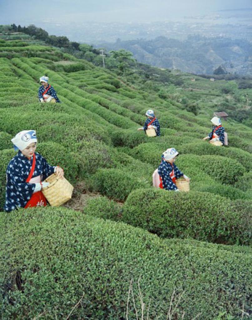 Stock Photo: 2050-117831 Tea Harvesting Nihondaira Shizuoka Japan