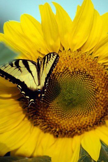 Close-up of Tiger Swallowtail pollinating a sunflower : Stock Photo