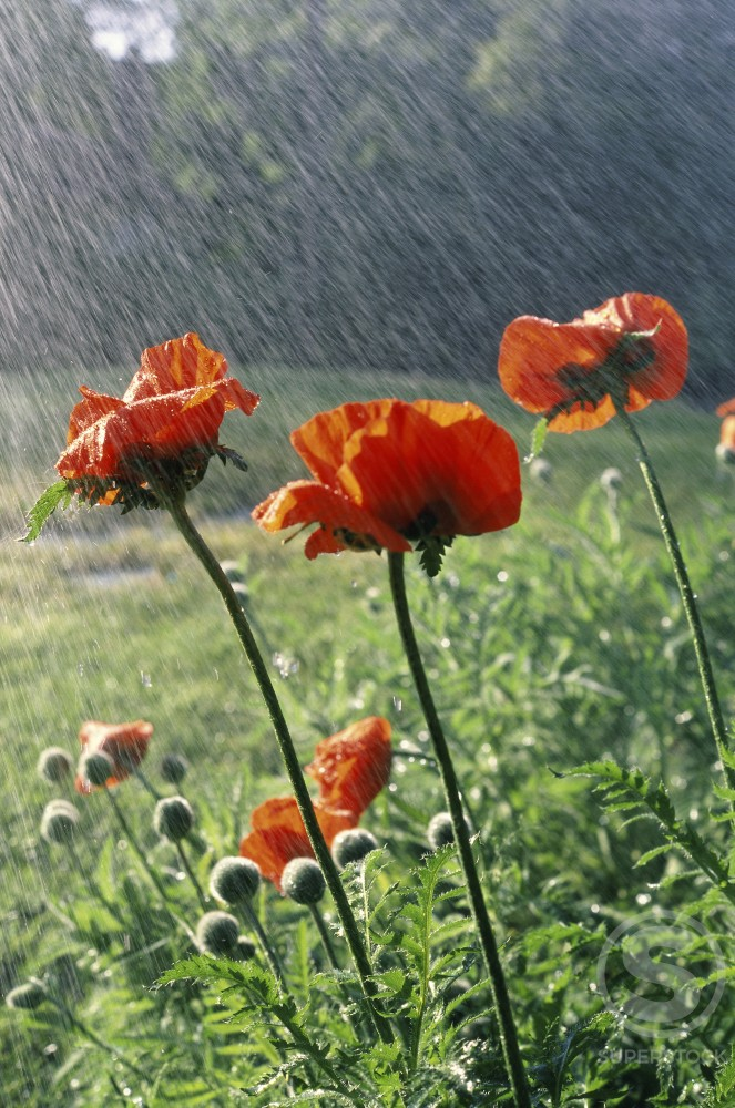 Stock Photo: 2050-1713 Oriental Poppies
