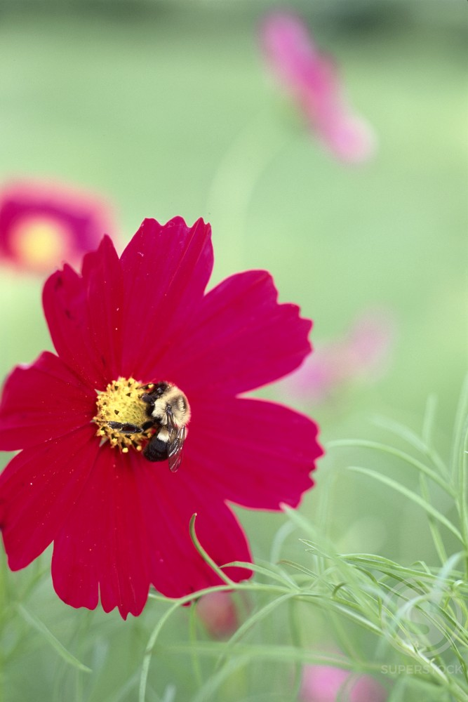 Red Cosmos with Bee : Stock Photo