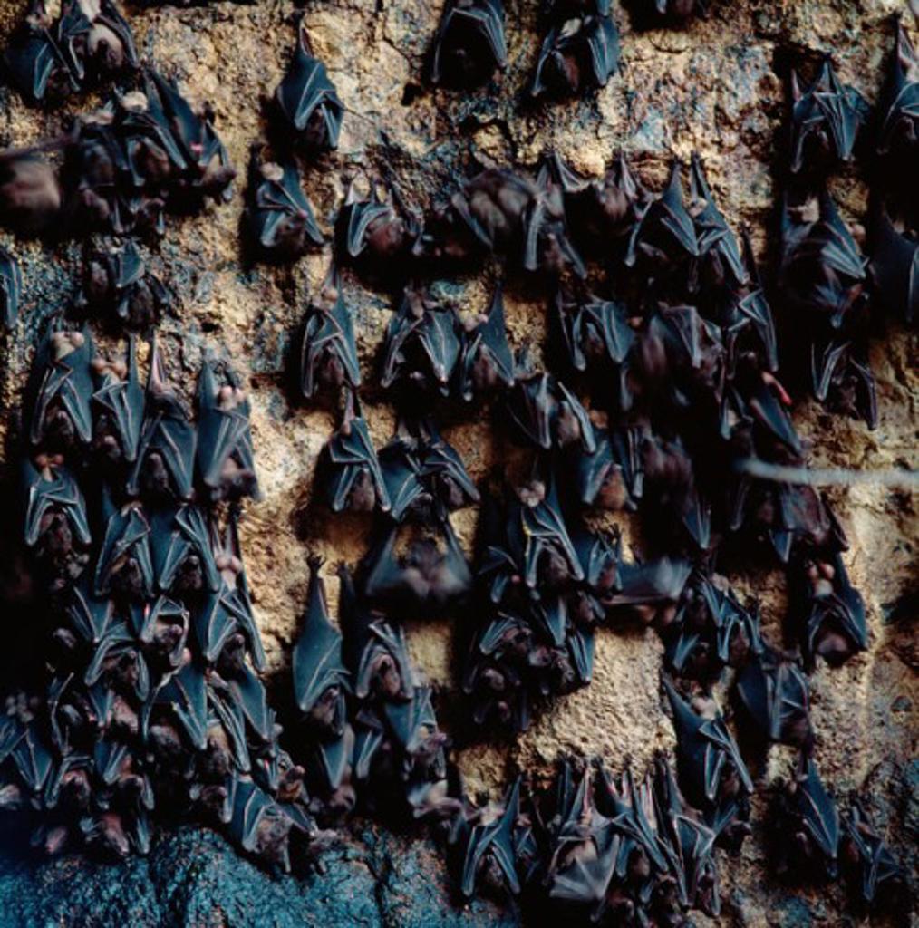 Stock Photo: 2058-522665 Bats (Chiroptera) on Cave Wall, Goa Lawah, Bali, Indonesia