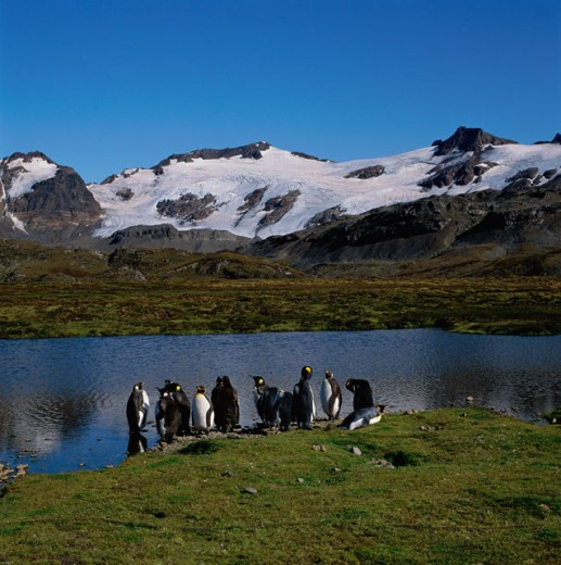 Stock Photo: 2058-924A Penguins on the banks of a river, South Georgia Island, Antarctica