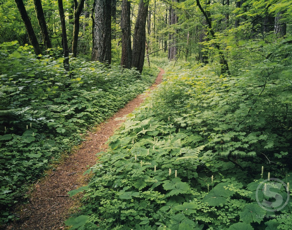Stock Photo: 2109-1781 Trail passing through a forest, Columbia River Gorge, Oregon, USA