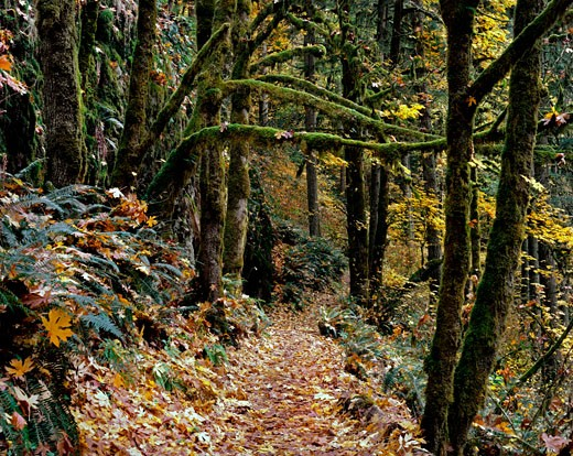 Stock Photo: 2109-2100 Trail in a forest, Silver Falls State Park, Oregon, USA