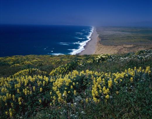 Yellow Lupines Point Reyes National Seashore California USA : Stock Photo