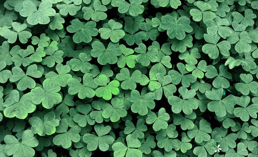 USA, Oregon, Columbia Gorge National Scenic Area, Close up of clovers : Stock Photo
