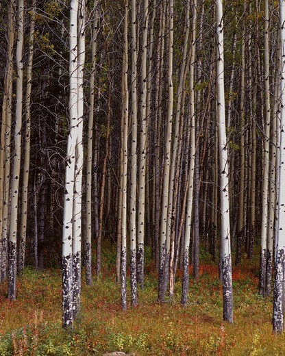 Canada, Alberta, Bow Valley, Banff National Park, Aspen trees : Stock Photo