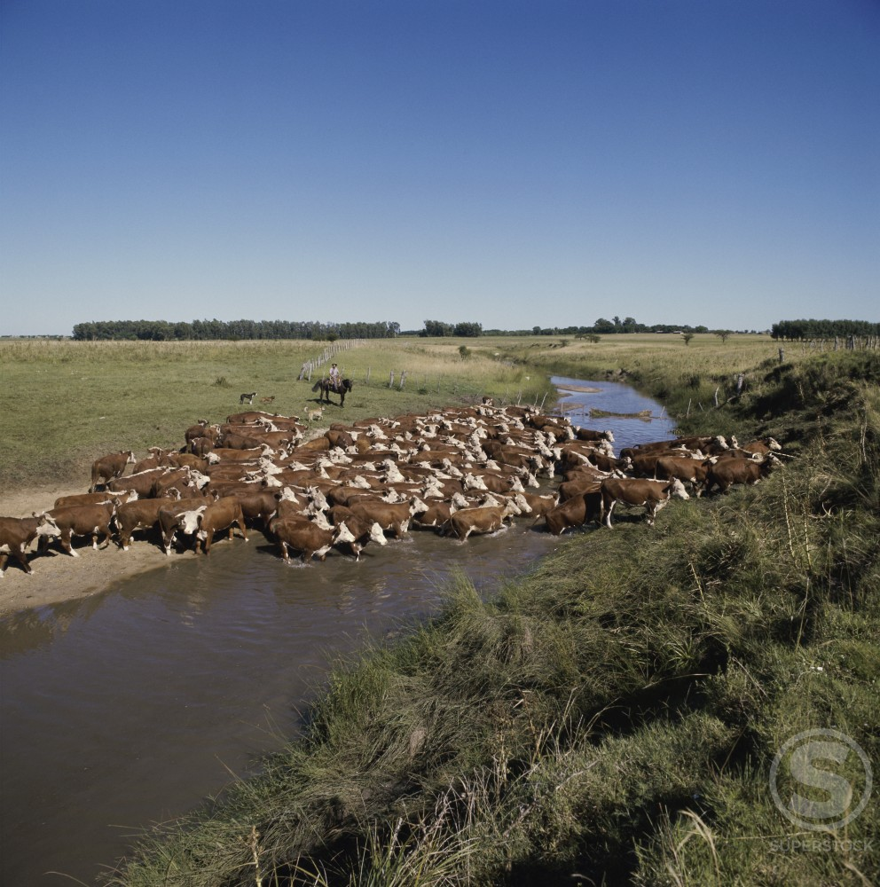 Stock Photo: 2132-537801 Cattle Herding