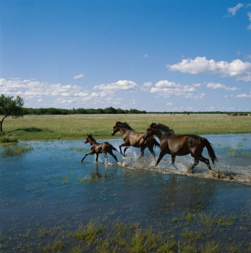 Stock Photo: 2132-553748 Two adult horses and a foal running through water, Argentina