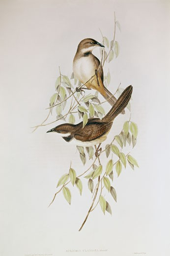 Gould (Atrichia Clamsda)