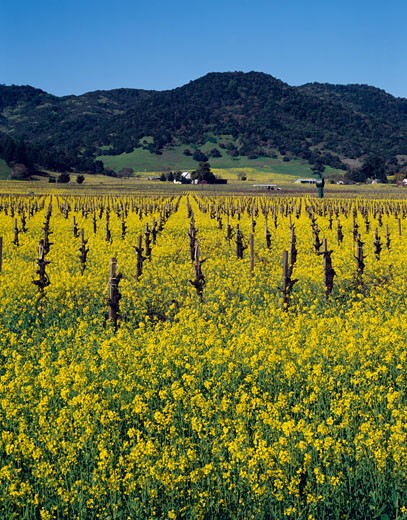 USA, California, Napa Valley, Mustard plants growing in vineyard : Stock Photo