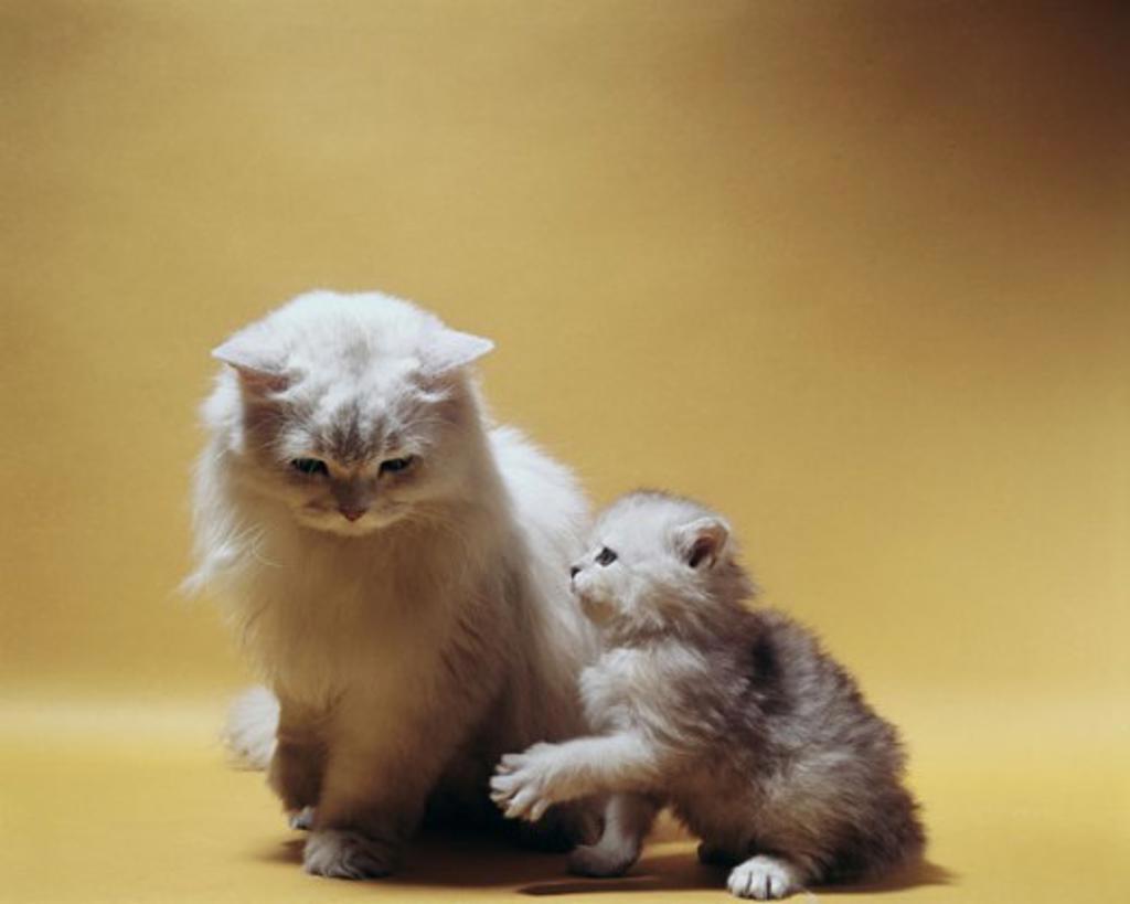 Stock Photo: 2158-597602 Persian Cat and Kitten