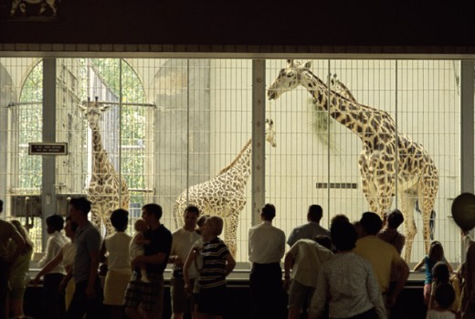 Stock Photo: 2195-445858 Giraffes