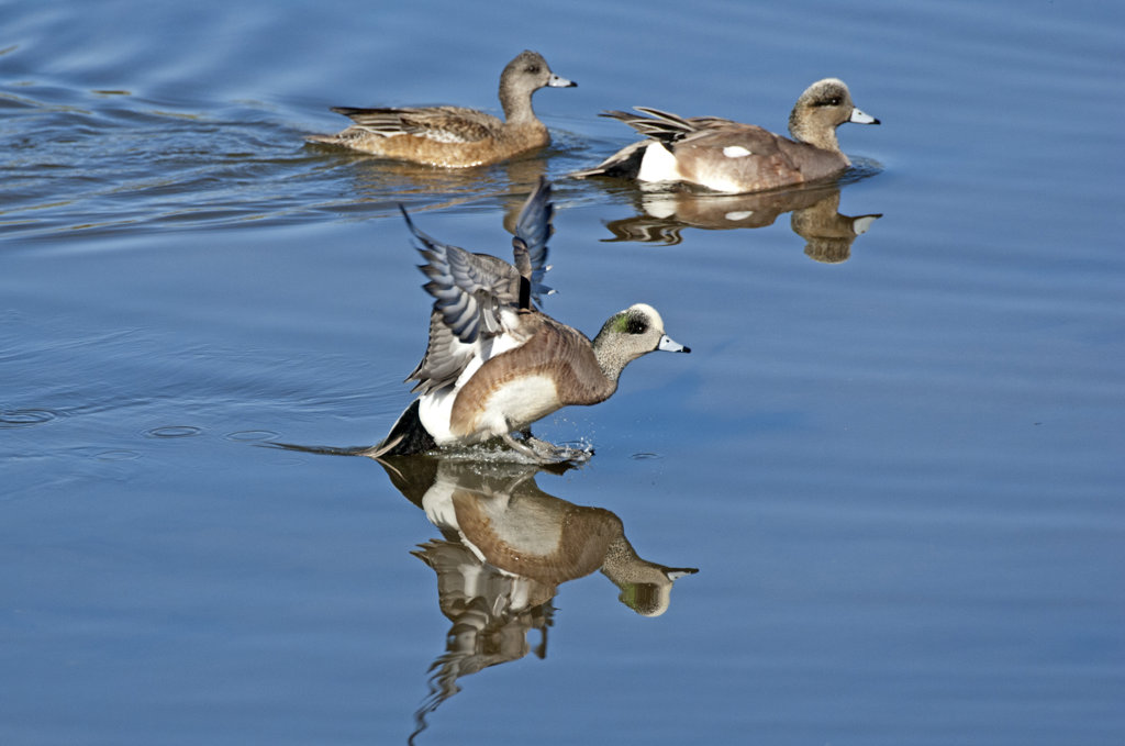 Three American Wigeons (Anas americana) in a pond : Stock Photo