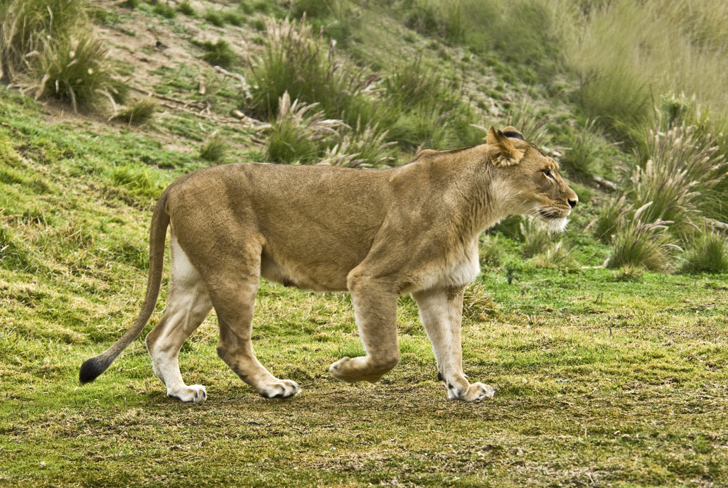 Female lion (Panthera leo) walking in a forest : Stock Photo
