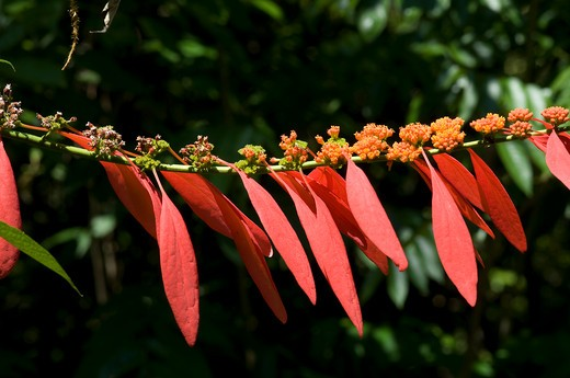 Stock Photo: 2238-405 Close-up of Chaconia (Warszewiczia coccinea) flowers, Boa Esperanca, Amazonas, Brazil