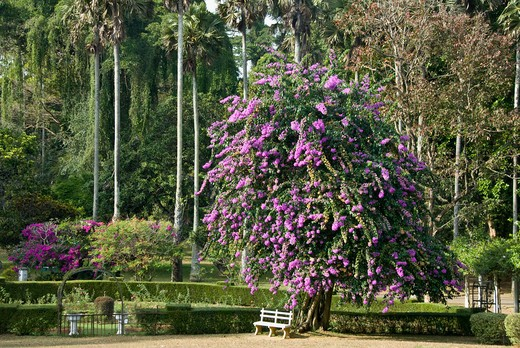 Stock Photo: 2258-562173 Flowers blooming on a tree in the park, Peradeniya, Sri Lanka