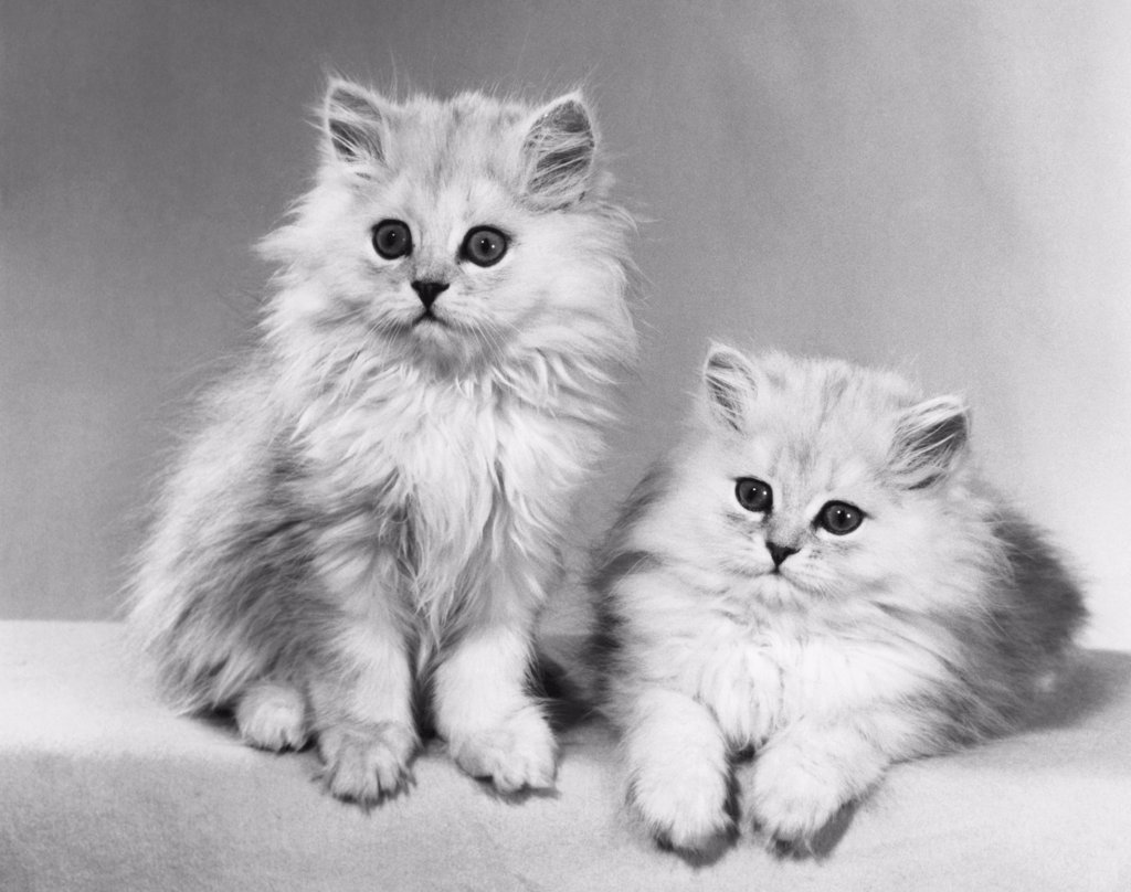 Stock Photo: 255-17771 Close-up of two kittens