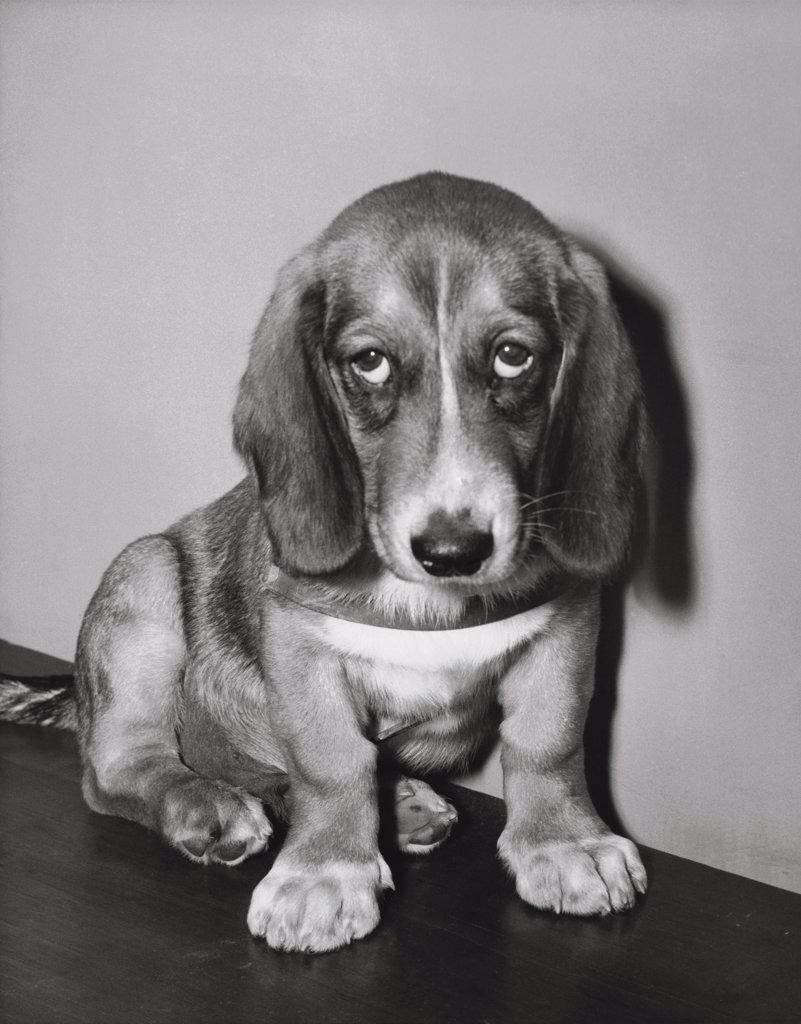 Stock Photo: 255-17775 Basset Hound Puppy