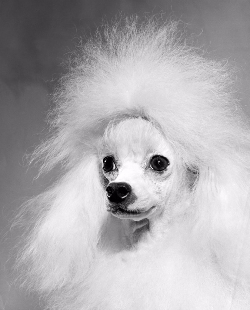 Close-up of a poodle : Stock Photo