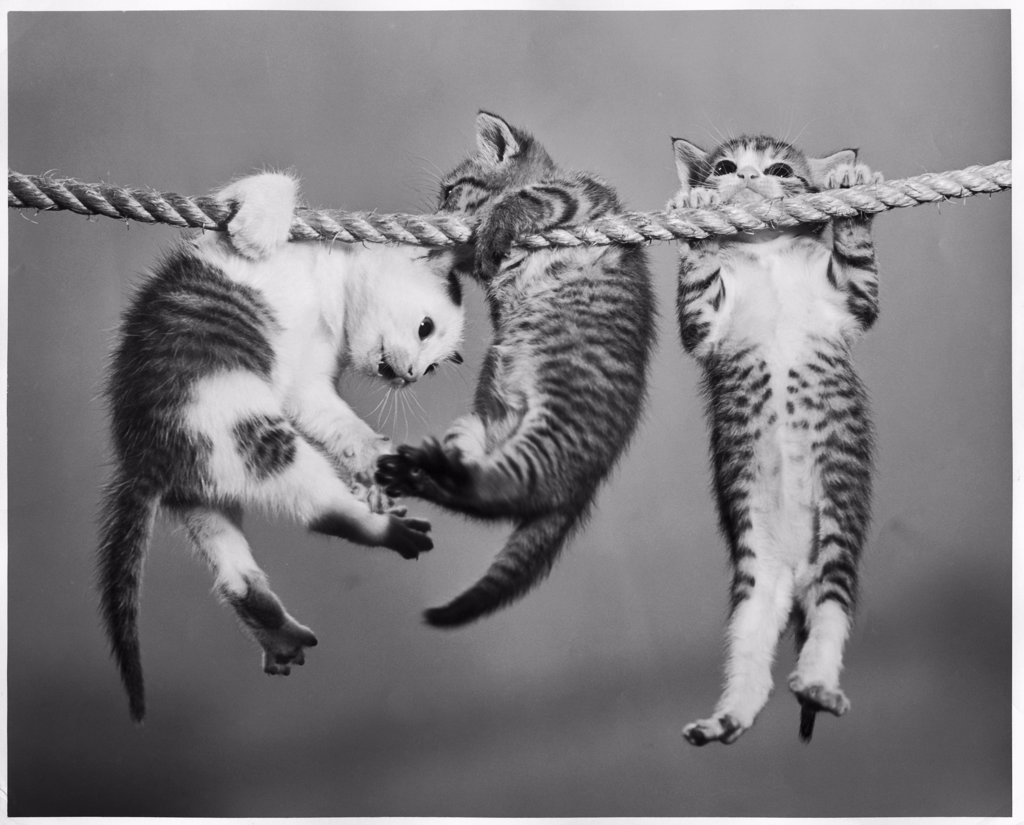Stock Photo: 255-28751 Three kittens hanging from a rope