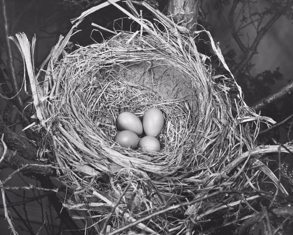 High angle view of four robin's eggs in a nest : Stock Photo