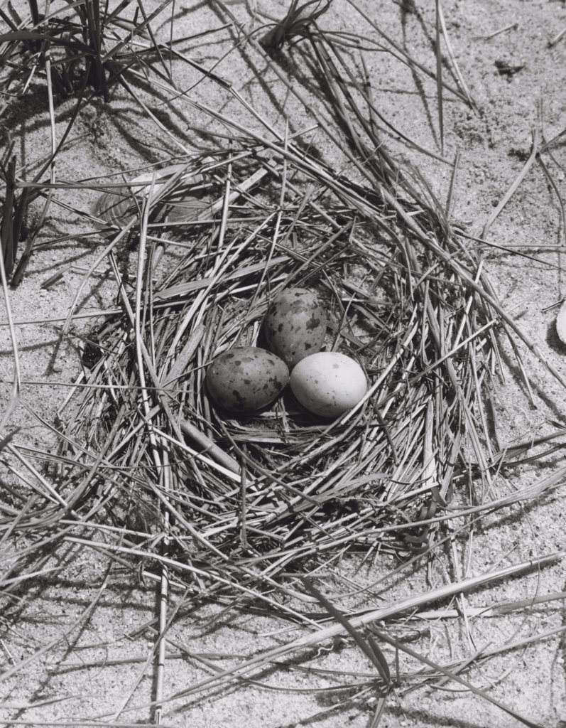 Stock Photo: 255-30372 High angle view of three Common Tern's eggs in a nest