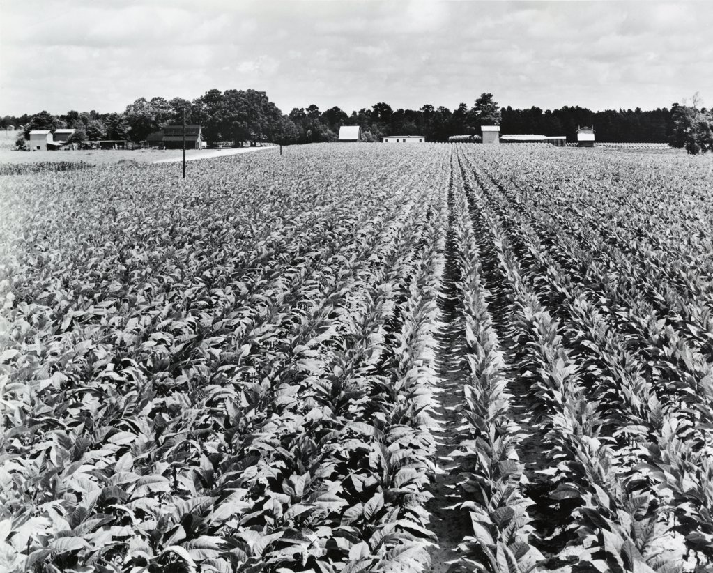 Stock Photo: 255-30406 Tobacco crop in a field, North Carolina, USA