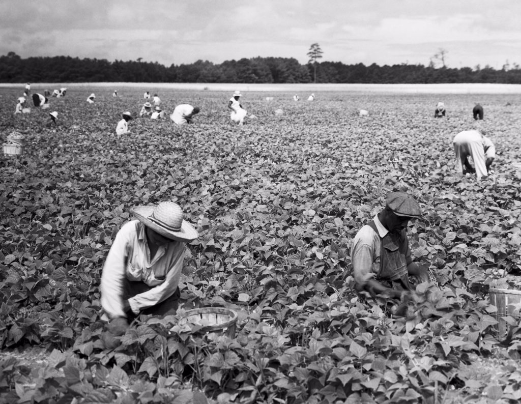 Stock Photo: 255-31693 Group of workers harvesting beans in a field